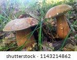 boletus edulis   penny bun  cep ...   Shutterstock . vector #1143214862