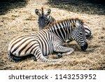 animals wildlife photography  | Shutterstock . vector #1143253952