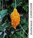 yellow bitter gourd or also... | Shutterstock . vector #1143411638