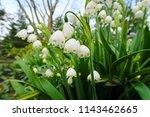 White Summer Snowflake Flowers...