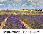 the flowering of lavender in...   Shutterstock . vector #1143470375
