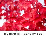 Close Up Red Maple Leaves....