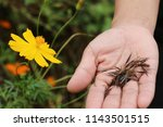 yellow cosmos flower and seeds... | Shutterstock . vector #1143501515