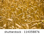 Ripened Wheat Growing On An...