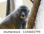 ape is looking at you | Shutterstock . vector #1143602795