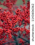 Bright Red Winterberries  Ilex...