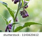 common comfrey or true comfrey  ... | Shutterstock . vector #1143620612
