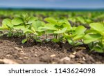 fresh green soy plants on the... | Shutterstock . vector #1143624098
