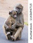 baboon sibling love  kruger... | Shutterstock . vector #1143694715