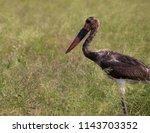 juvenile saddle billed stork ... | Shutterstock . vector #1143703352