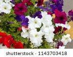 Mixed Petunia Flowers. Petunia...