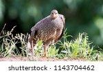 natal spurfowl stretching ... | Shutterstock . vector #1143704462