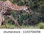 giraffe drinking  kruger... | Shutterstock . vector #1143706058