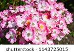 pink bush rose | Shutterstock . vector #1143725015