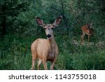 a doe with a buck in the in the ... | Shutterstock . vector #1143755018