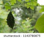 young dark green bitter gourd... | Shutterstock . vector #1143780875