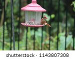 young northern cardinal... | Shutterstock . vector #1143807308