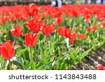 red tulip outdoor on a bright  ... | Shutterstock . vector #1143843488