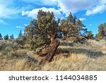 Desert Dandy - An odd juniper tree in the high dsert east of Redmond, OR