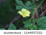 yellow flower of momordica... | Shutterstock . vector #1144057232