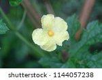 yellow flower of momordica... | Shutterstock . vector #1144057238