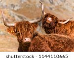 two funny highland cows | Shutterstock . vector #1144110665