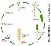 a growth cycle of a wheat plant ... | Shutterstock .eps vector #1144118102
