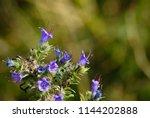 the bright purple blue flowers... | Shutterstock . vector #1144202888
