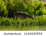 a whitetail deer drinking from... | Shutterstock . vector #1144234955