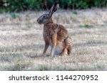 Stock photo a hare on a dry yellow field 1144270952
