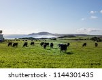cows in pasture at green point... | Shutterstock . vector #1144301435