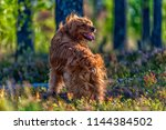 red english spaniel in the woods | Shutterstock . vector #1144384502