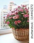 Bush of beautiful pink chrysanthemum in a basket on a balcony - stock photo