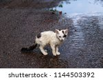 Stock photo wet homeless sad kitten on a street after a rain concept of protecting homeless animals 1144503392