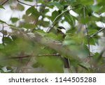 great tit  parus major  sitting ... | Shutterstock . vector #1144505288