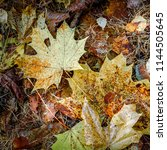 multicolored maple leaves.... | Shutterstock . vector #1144505645