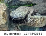 chinese giant salamander in... | Shutterstock . vector #1144543958