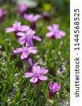 silene acaulis  known as moss... | Shutterstock . vector #1144568525