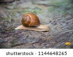 big snail in the sink crawling... | Shutterstock . vector #1144648265