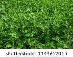 green leaves full frame of rain ... | Shutterstock . vector #1144652015