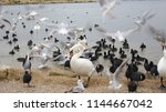 swans and seagulls on the beach | Shutterstock . vector #1144667042