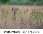 Roebuck   Buck  Capreolus...