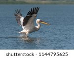 Pelican Flying in Danube Delta