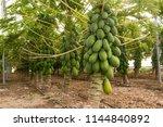 Papaya Plantation In The...