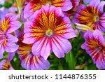 unusual purple flower. exotic... | Shutterstock . vector #1144876355