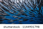 Massive School Of Sardines In ...