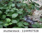 Poison Ivy Growing Abundantly