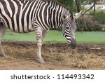A Zebra Head And Shoulders Fro...