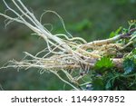 white root of young nettle for... | Shutterstock . vector #1144937852