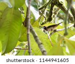Small photo of flinch hold bamboo leaf in mouth